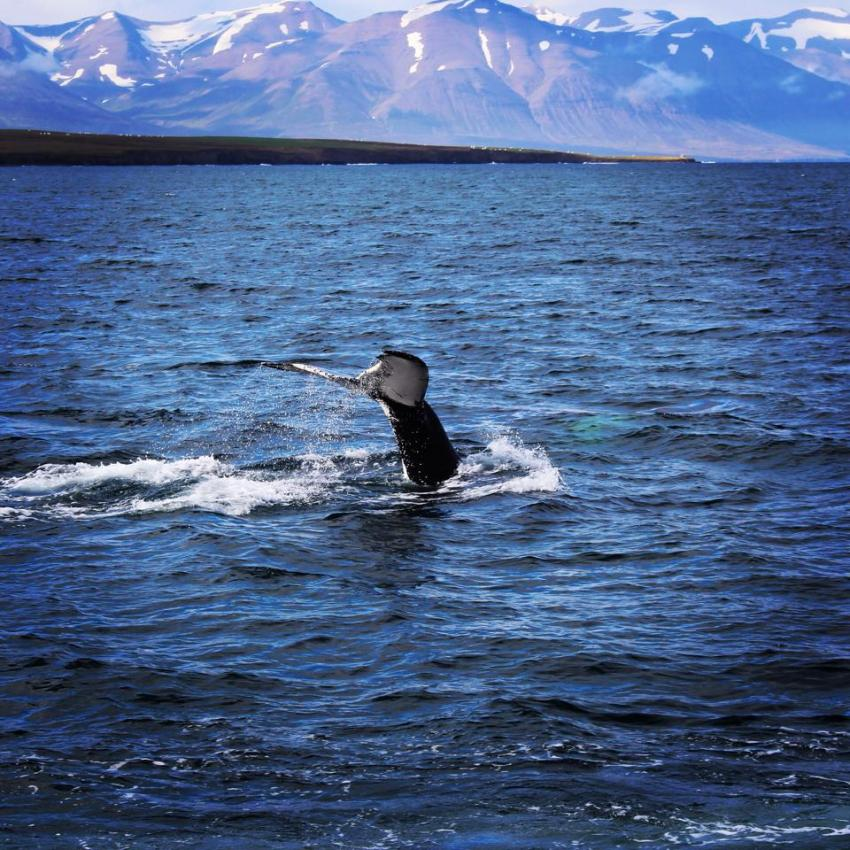 Islande -dalvik - chalutier - baleines